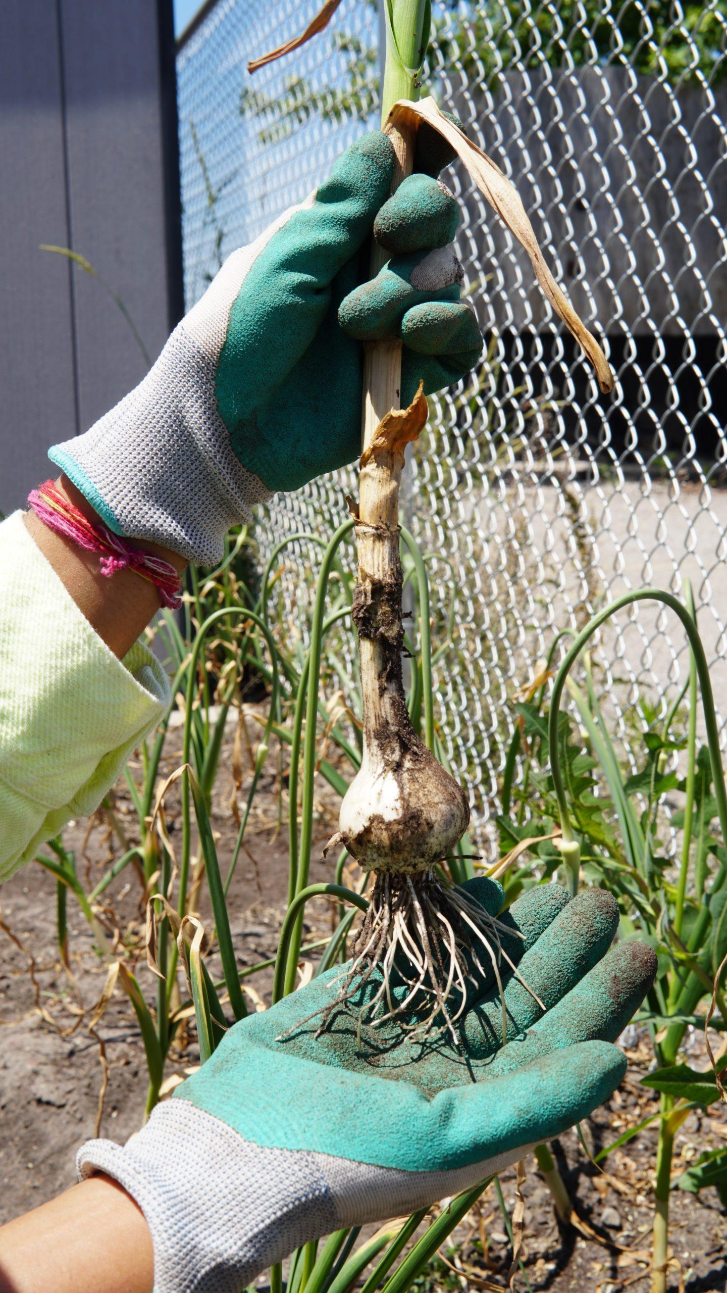Garden- garlic